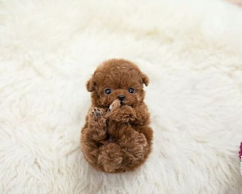 25+ Teacup Puppies That Are So Plushy You Won't Believe They're Real