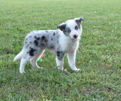 Puppies Are So Curious This Blue Merle Border Collie Puppy Is So