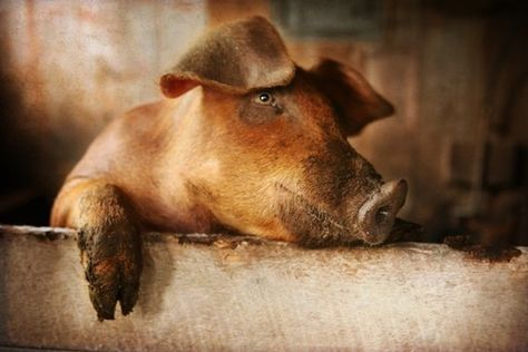 Day Dreaming Pig- 8X10 Fine Art Photograph, sweet rust colored pig, hanging on a fence, floppy ears