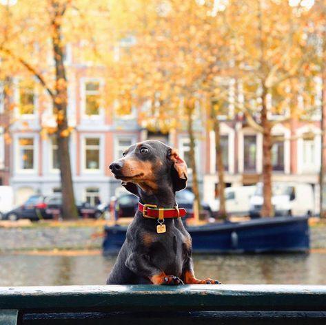 instagram: @wyatt_the_dachshund Where the treetops glisten. 🎄  #wyattdachshund #dog #dogs #dachshund #minidachshund #dachshundsofinstagram #doxie #sausagedog #wienerdog #teckel #dackel #bassotto #bluedachshund #puppy #dachshundpuppy #dogphotography #petphotography #photography #luxury #couture #fashion #christmas #christmaseve #merrychristmas #christmastree #santa #sparkle #model #amsterdam #netherlands