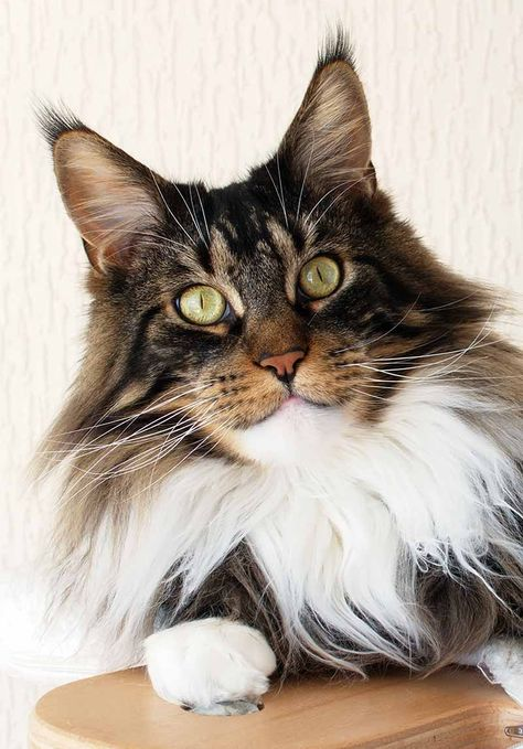 Maine Coon Vs Norwegian Forest Cat - Know The Differences