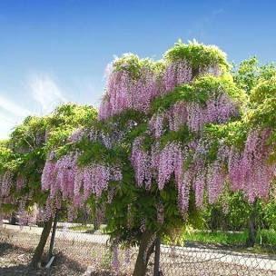 Wisteria Plant For Sale Google Search In 2020 Wisteria Tree Wisteria Tree For Sale Wisteria Plant
