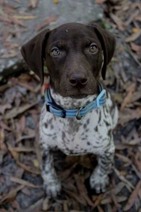 Pin By Diane N Wolf On German Shorthaired Pointer Pointer Puppies German Shorthaired Pointer Dog German Shorthaired Pointer Black
