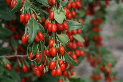 Phoenix Tears Goji Berry Growing Goji Berries Goji Berries Plant Berry Plants