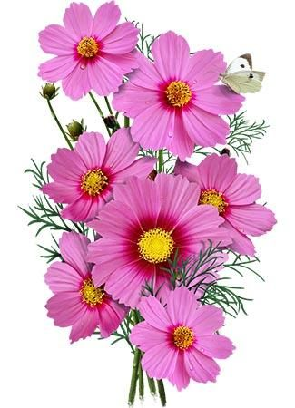 Gloria Cosmos Seeds Cosmos Bipinnatus Cosmos Flowers Flower Drawing Flower Painting