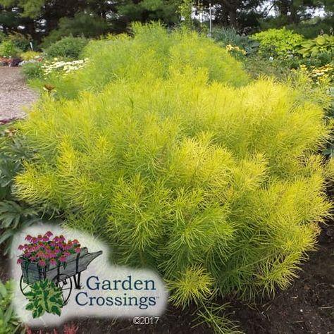 Amsonia Hubrichtii Plants Sun Plants Grass Weeds
