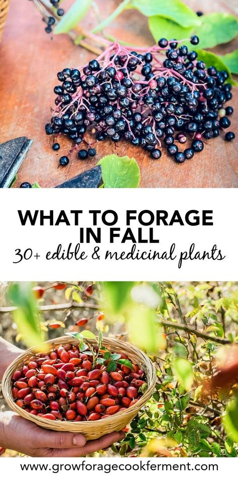 to Forage in Fall: Edible and Medicinal Plants and Mushrooms Learn what to forage in the fall. Autumn is the perfect time to go foraging, there is so much bounty. Forage for birch bark plus many other edible and medicinal plants!Learn what to forage in Healing Herbs, Medicinal Plants, Edible Wild Plants, Wild Edibles, Survival Food, Survival Guide, Edible Flowers, Herbal Medicine, To Go