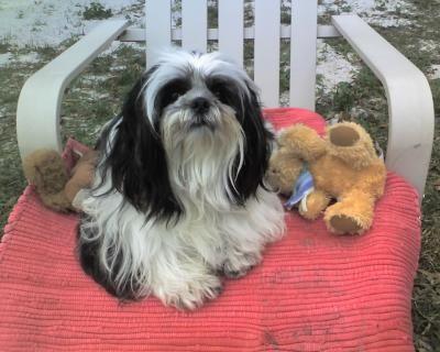Shih Tzu Info Pictures Of Shih Tzu Breeds Petmd In 2020 Miniature Dog Breeds Shih Tzu Breeds