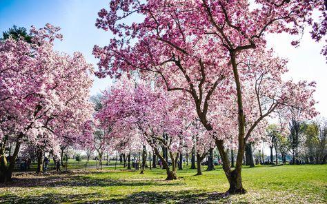 When Will This Year S Cherry Blossoms Bloom In Washington D C Cherry Blossom Tree Japanese Cherry Tree Yoshino Cherry Tree
