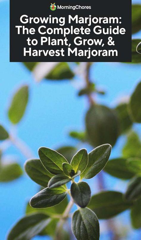 Growing Marjoram: The Complete Guide to Plant, Grow, & Harvest Marjoram