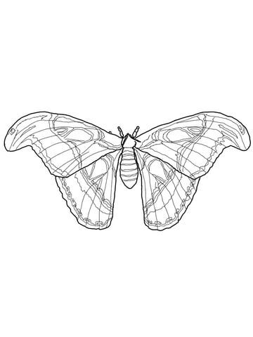 Atlas Moth Coloring Page From Moth Category Select From 31683 Printable Crafts Of Cartoons Nature An Atlas Moth Coloring Pages Free Printable Coloring Pages