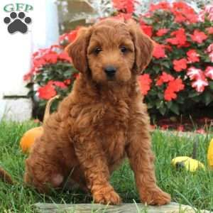 Mini Goldendoodle Puppy In Bird In Hand Pa Mini Goldendoodle Puppies Goldendoodle Puppy Goldendoodle Puppy For Sale