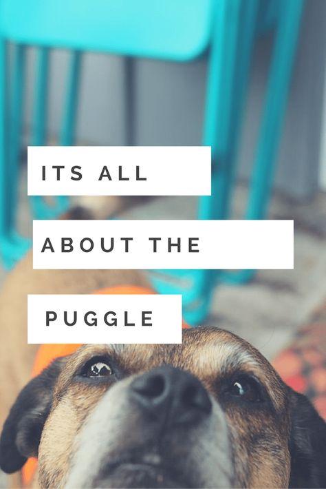 Puggle Dog Breed Information Lifespan Care Dog Breeds Online