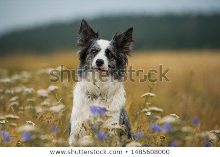 Stock Photo Border Collie Dog In A Flower Meadow Collie Dog Border Collie Dog Dogs