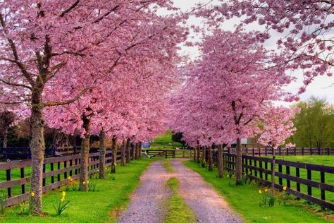 I would LOVE the have a long, long driveway lined with beautiful trees like this someday!!!!  Also, look at the cute little yellow flowers planted around the trees!  <3