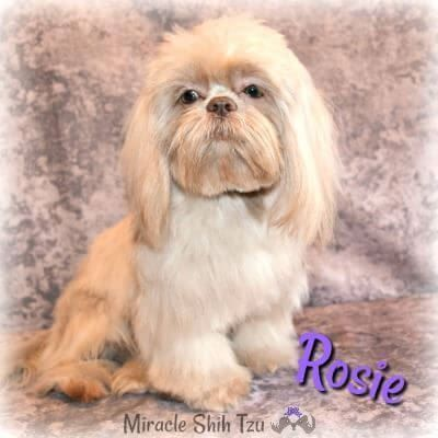 Rosie Is A Lavender Shih Tzu Officially Called Liver By Akc
