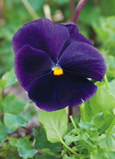 How To Grow Pansies Pansies Fall Garden Checklist Annual Plants