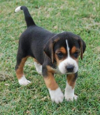 A Small Tricolor Black Tan And White Hamilton Hound Puppy Is