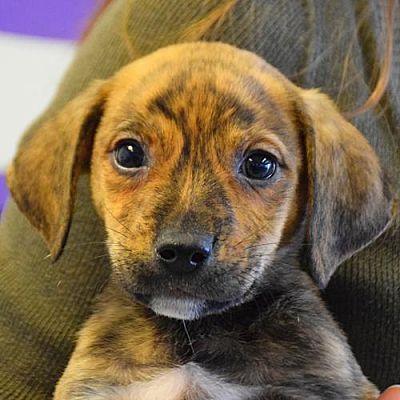 Huntley Il Labrador Retriever Meet Ukulele A Pet For Adoption Labrador Retriever Labrador Pet Adoption