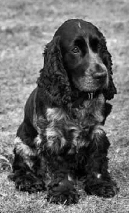 Find Out More Information On Spaniel Puppies Look Into Our Website Spanielpuppies Cocker Spaniel Dog Dogs Springer Spaniel Puppies