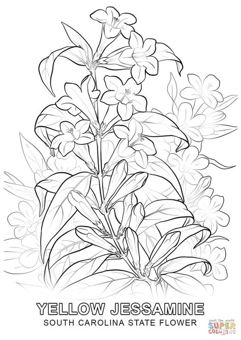 South Carolina State Flower Coloring Page Free Printable