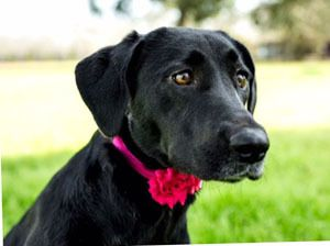 Adopt Luna 17 On Petfinder Labrador Retriever Black Labrador Retriever Black Labrador