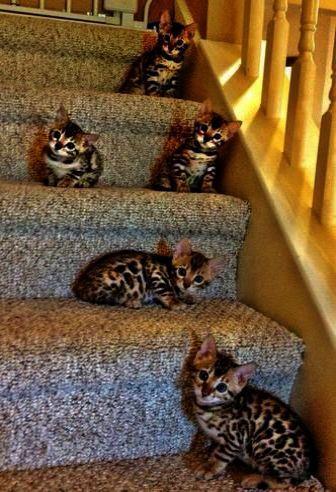 But Mom It S Not Bedtime Kittens Cutest Bengal Kitten