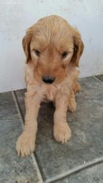 Litter Of 8 Goldendoodle Puppies For Sale In Sarasota Fl Adn