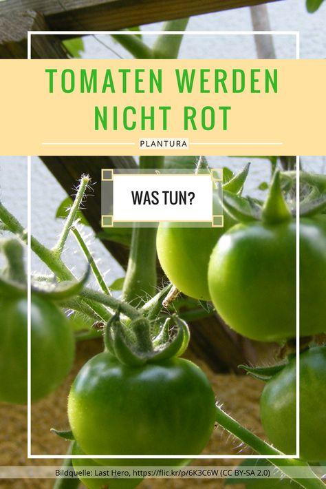 Tomaten Werden Nicht Rot Was Tun Tomaten Tomaten Nachreifen Lassen Tomaten Ernten