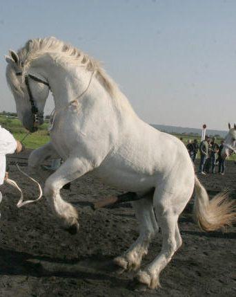 Boulonnais Horse Boulonnais 1 Horse Breeds ცხენის