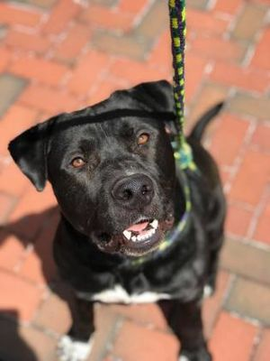 Murphy Is Available For Adoption At Mprgroup Net Pitbull Rescue