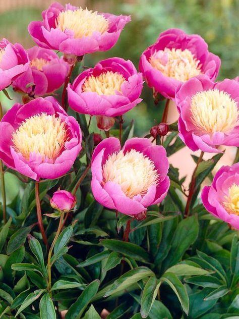 Peony Bowl of Beauty -- Bluestone Perennials