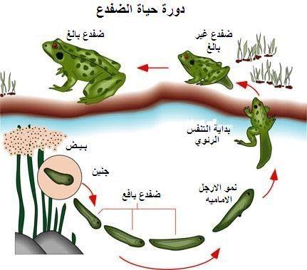 دورة حياة الضفدع برمائيات Frog Unit Study Frog Life Cycle Craft Frog Unit