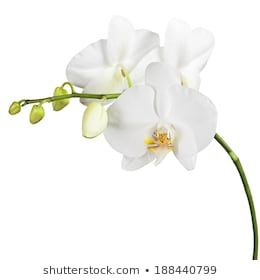 Similar Images Stock Photos Vectors Of White Orchid Isolated On White Background 426326476 Shutterstock In 2020 White Orchids Orchids White Background