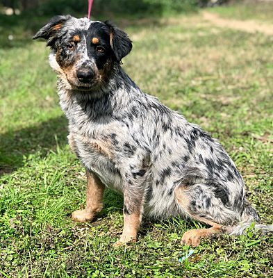 Pictures Of Denali A Australian Shepherd For Adoption In Darien