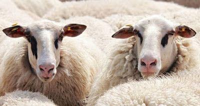 تفسير رؤيا الغنم في الحلم تفسير رؤية الشاة والعنز والنعجة والضأن والتيس في المنام Sheep Animals Lamb