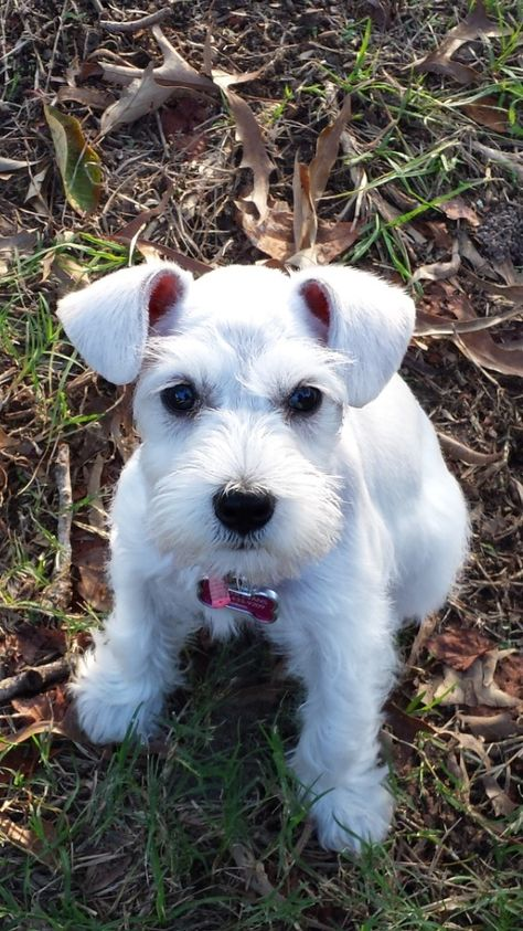 Lola enjoying an autumn day outside ~ A community of Schnauzer lovers!   she looks just like my Lulu! :)