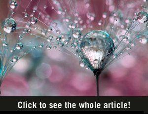 Dandelions in the morning dew