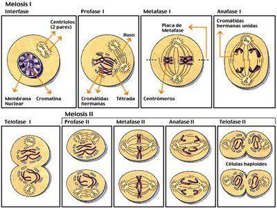 Resultado De Imagen Para Imagenes De Forma Esquematica Las Fases Dela Mitosis Y La Meiosis Prestando Especial Atencion Al Comp Mitosis Meiosis Activity Meiosis