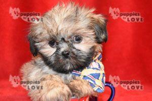 Shih Tzu Puppy For Sale In Sanger Tx Adn 72022 On Puppyfinder Com Gender Male Age 4 Months Old Shih Tzu Puppy Puppies Puppies For Sale