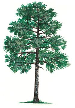 Alabama State Tree | Alabama's state tree is the southern longleaf pine.