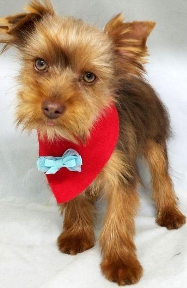 Denver Yorkshire Terrier Puppy Puppyspot Yorkshireterrier