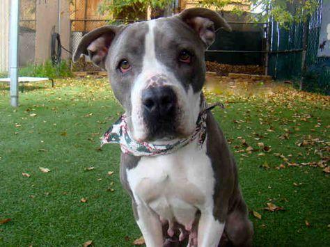 Dogs Gifts Cars PITBULLS Dog Paw Shaped Magnets: PIT BULLS RULE Trucks