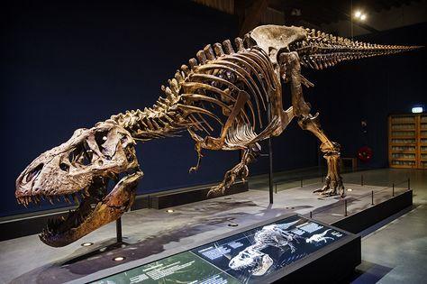 T Rex Skelett Des Tyrannosaurus Rex Tyrannosaurus Skelett Dinosaurier