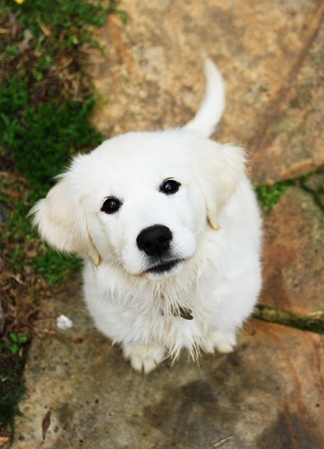 100 Dog Names From Movies Retriever Puppy Dogs Golden Retriever