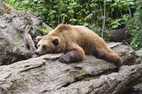 Bear, Predator, Zoo, Fur, Animal, Mammal, Brown, Furry