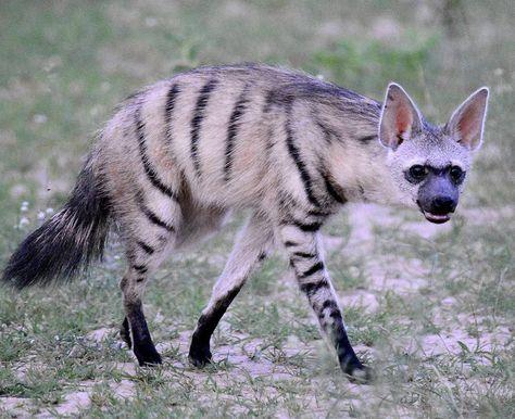 African Animals: Aardwolf