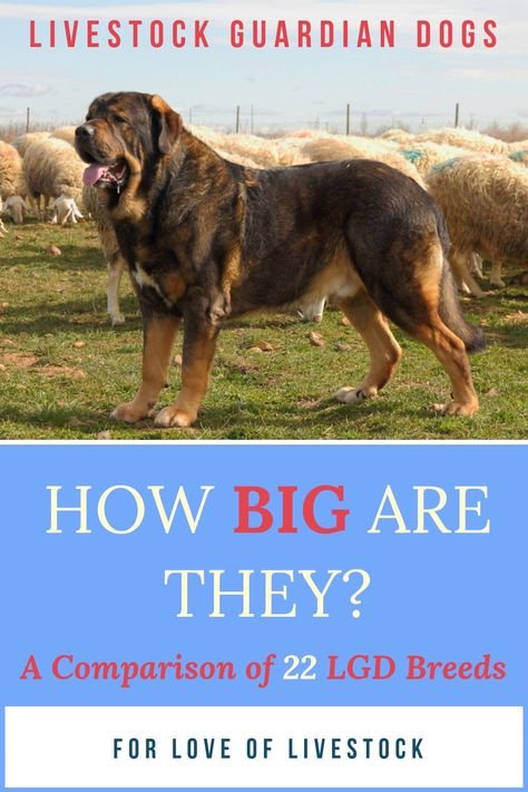 Livestock Guardian Dog Sizes With Images Livestock Guardian Dog Livestock Guardian Livestock Guardian Dog Breeds