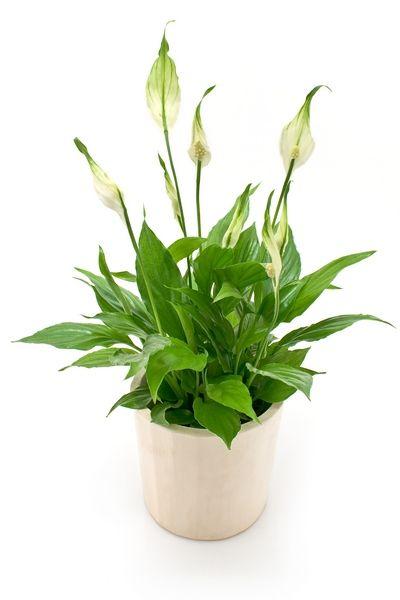 Rosliny Doniczkowe Cieniolubne Plants Planters Peperomia