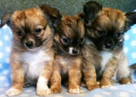 Best 25 Small Dogs For Ideas On Pinterest Tiny Puppies And Teacup
